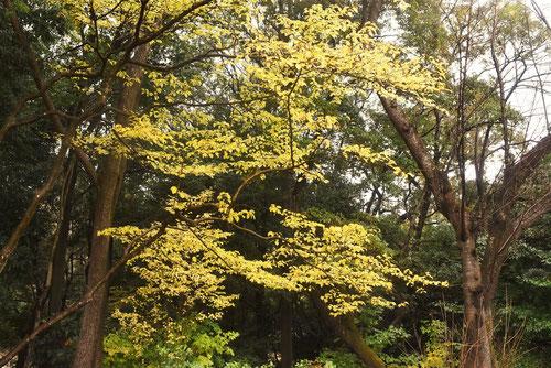 樹木 アオハダ 画像