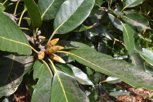 カゴノキの新芽,かごのき,画像