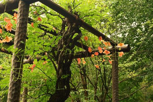 Trumpet Flower in Japan