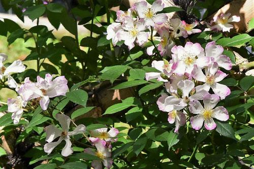 ピンクの花,ノイバラ