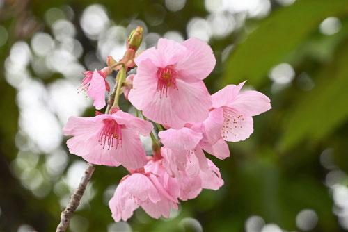 陽光桜の花,画像