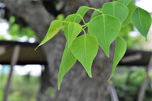 ナンキンハゼの葉っぱ ハート