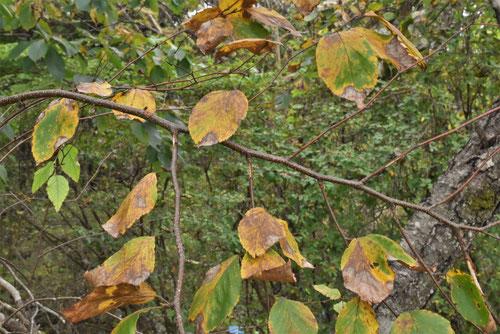 Japanese hard birch