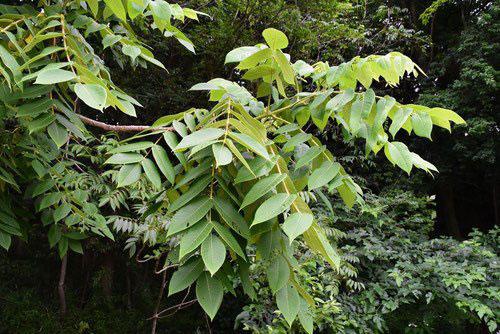 Japanese walnut tree