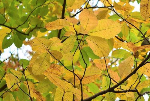 アブクタラシという木 紅葉