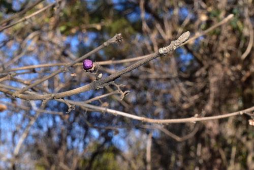 ヤブムラサキという木