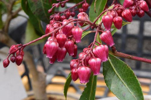 アシビ,あせび,品種,ピンク花