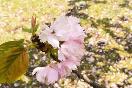楊貴妃桜,画像