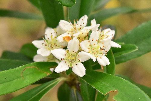 タチバナモドキ,花,たちばなもどき