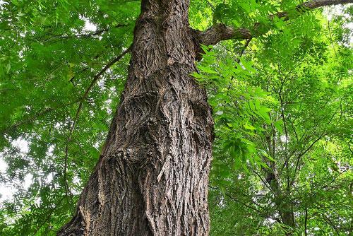 のぐるみ 樹木