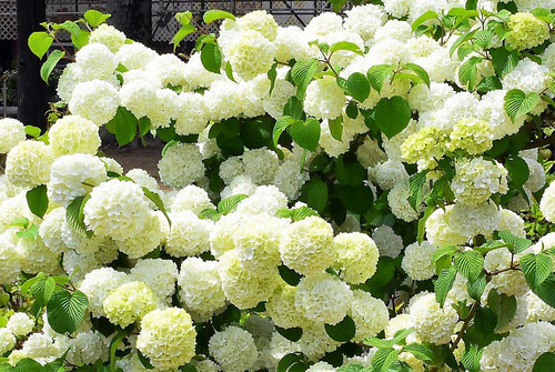 flowers of Japanese Snowball