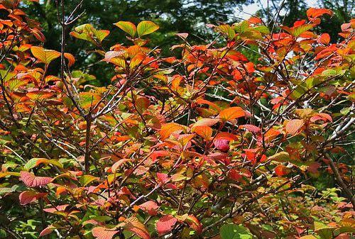 オオデマリの紅葉 時期