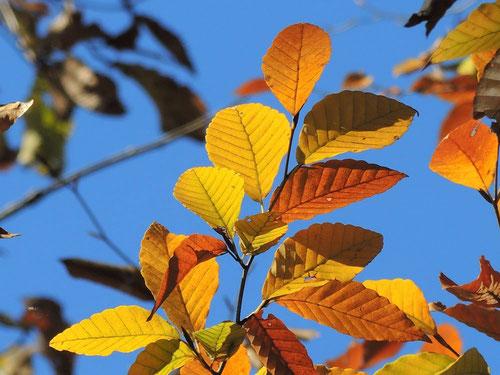ブナの黄葉,ぶな,紅葉