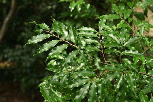 柊樫 木 種類