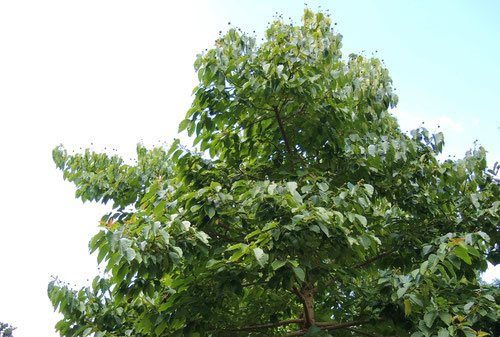 cancer tree