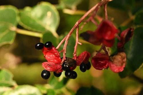 ゴンズイという木の特徴 権翠