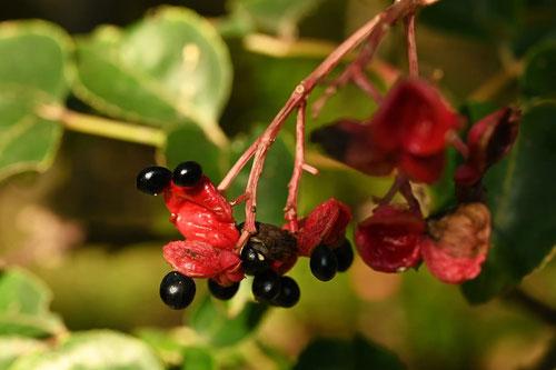 ゴンズイという木の特徴,権翠