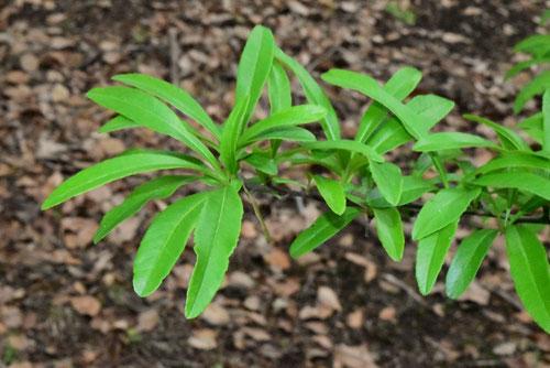 タチバナモドキ,葉っぱ,たちばなもどき
