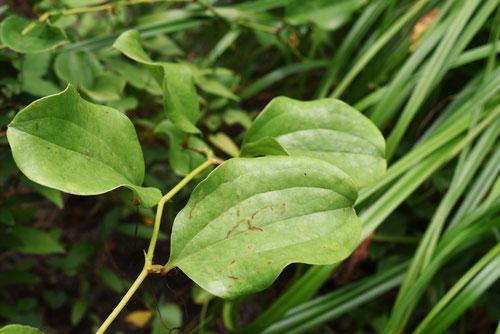 サルトリイバラ,葉っぱ