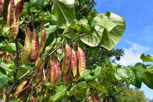 ハナズオウの豆 時期
