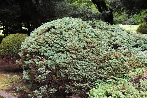 氷室杉,特徴