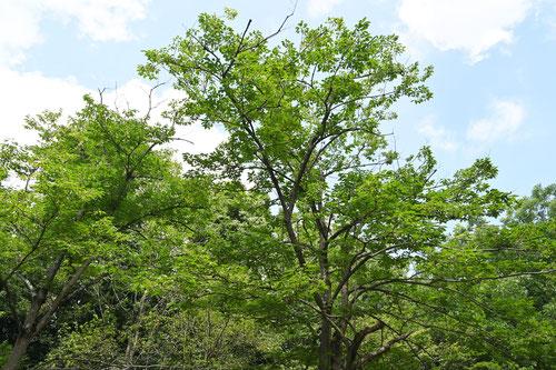 しなのがき 樹木 特徴