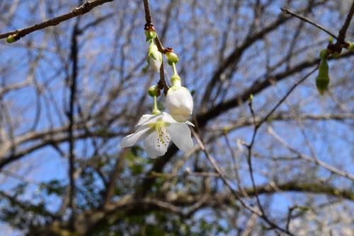 近畿豆桜 花