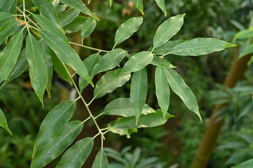 沖縄裏白樫,葉っぱ