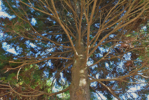 青森桧葉,アテの木