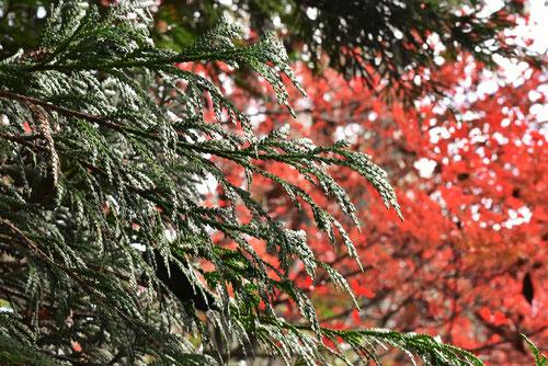 ヒノキアスナロ,葉っぱ