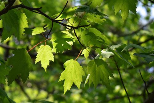 紅楓の木,特徴