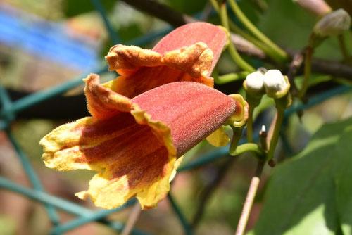 Crossvine,flower