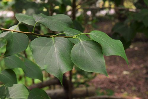ライラックの葉っぱ 画像