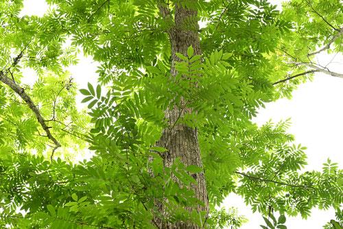 サワグルミ 樹木図鑑