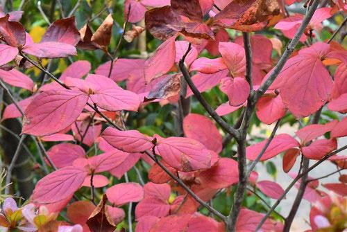 沙羅の紅葉