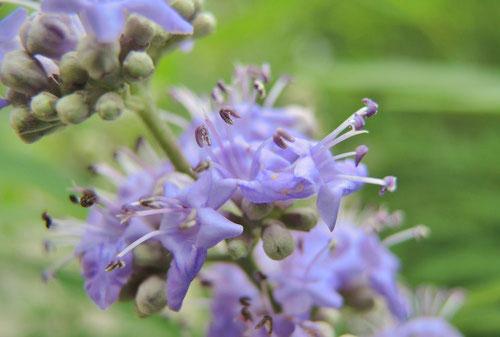 Chaste tree,flower