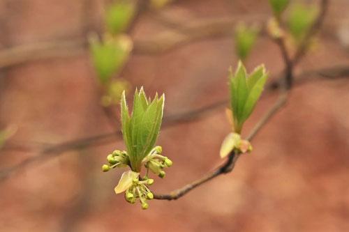 クロモジの木,特徴