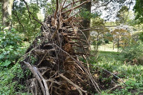 ハンテンボク,根茎