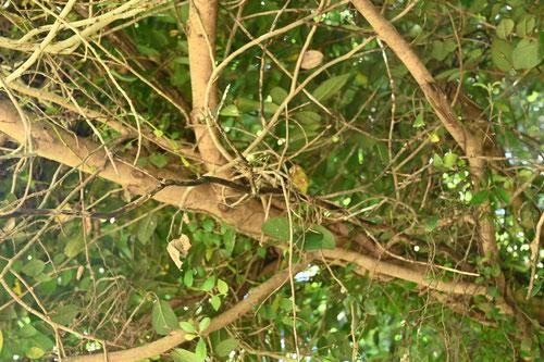 いたびかずらの木