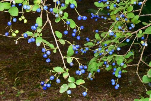 sapphire-berry,fruits
