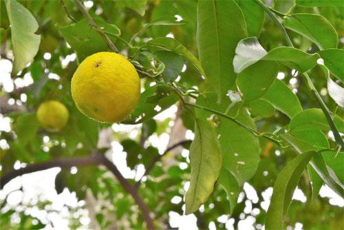 柚子の木,画像