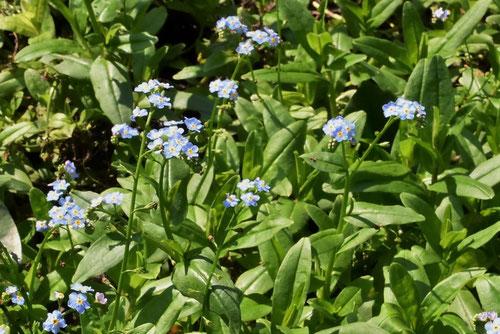 ワスレナグサ,植物