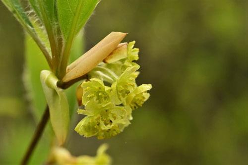 クロモジの花,開花時期