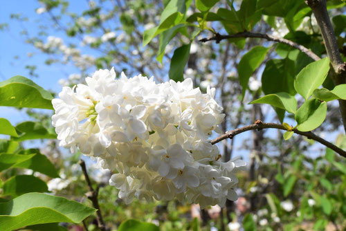 花の色,種類,らいらっく