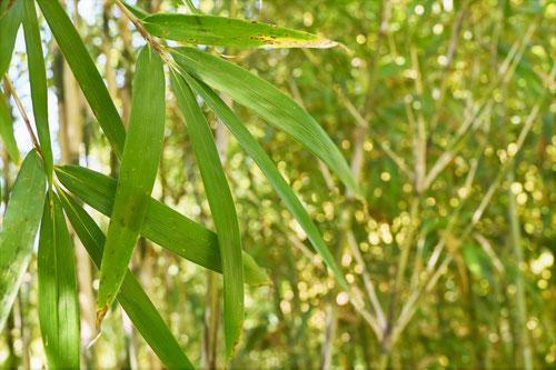 琉球竹の葉