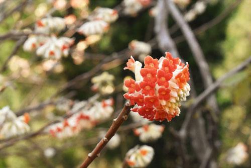 赤花ミツマタ 種類