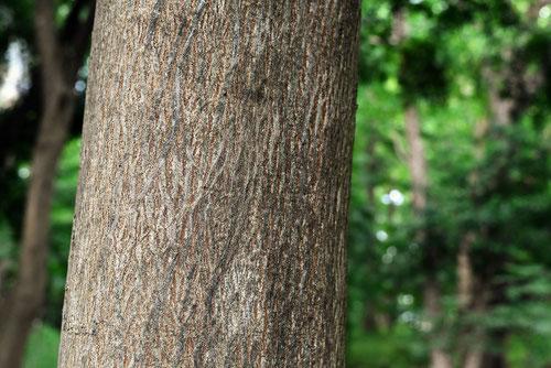 椋木の幹,むくのき