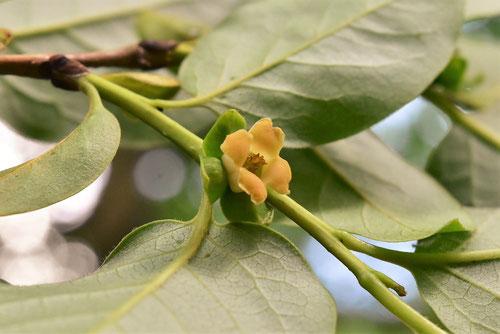 マメガキの花 画像