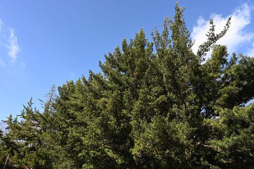 イヌマキ 自然樹形
