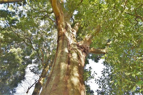 巨樹,シラカシ,しらかし